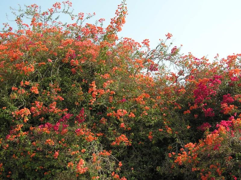 Баухиния  орхидное дерево  Цветы в доме Усадьба