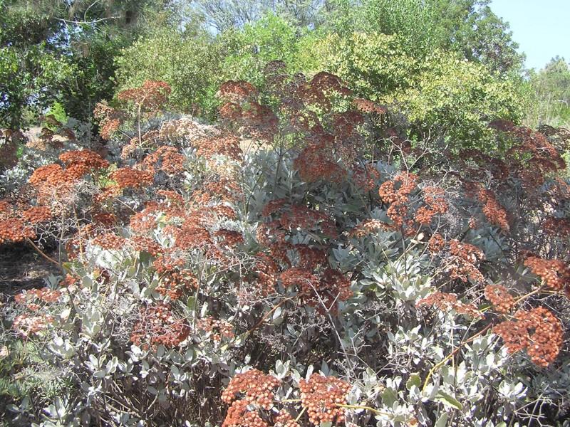 Бересклет Японский (Euonymus Japonica)