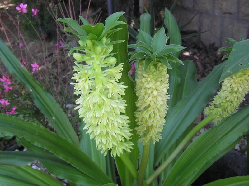 эукомис фото цветок