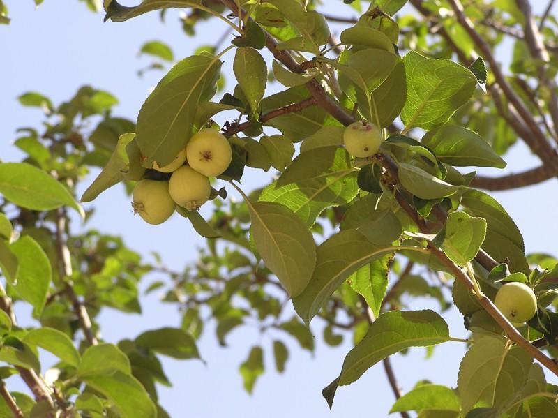 Malvaviscus arboreus – мальвовник древовидный