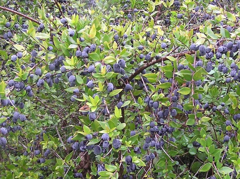 Myrtus communis – мирт обыкновенный – הדס