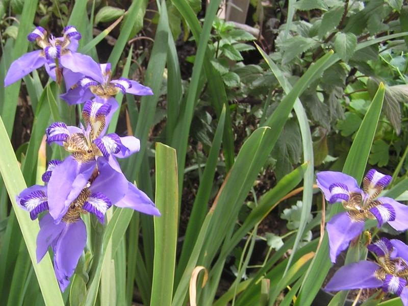 Neomarica caerulea – неомарика голубая